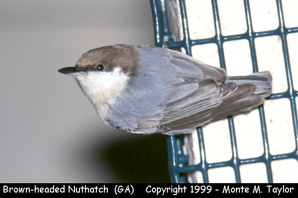 Brown-headed Nuthatch  (Georgia)