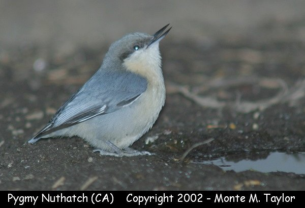 Pygmy Nuthatch (California)