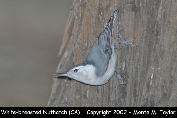White-breasted Nuthatch  (California)