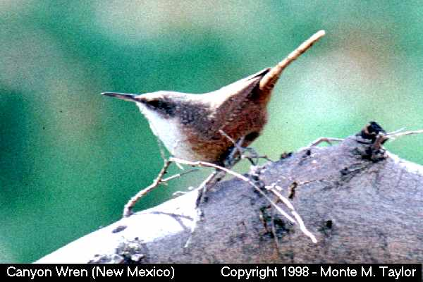 Canyon Wren  (New Mexico)