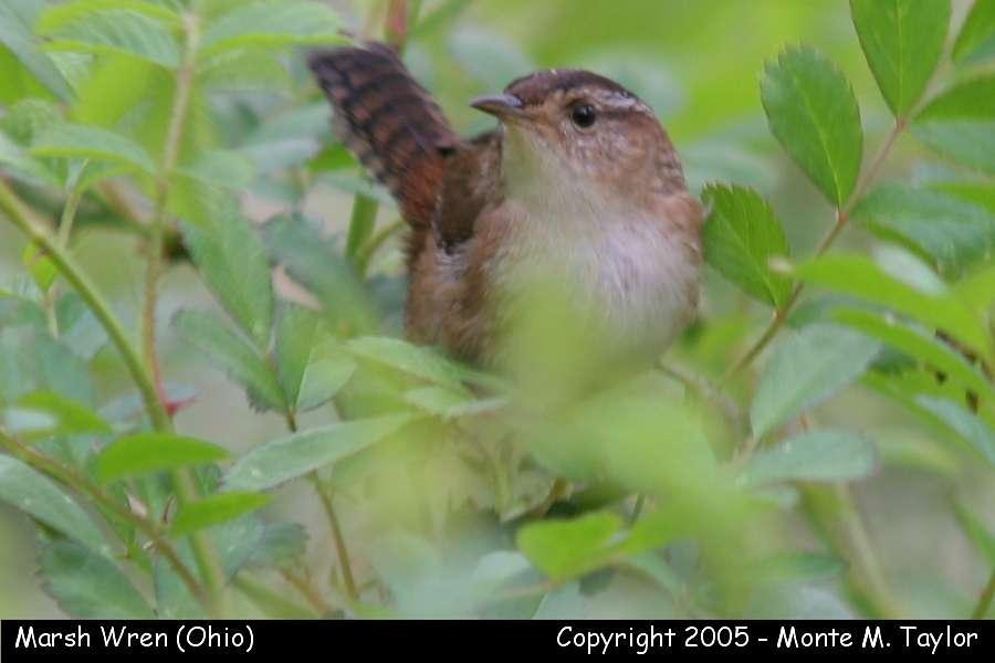 Marsh Wren (Ohio)