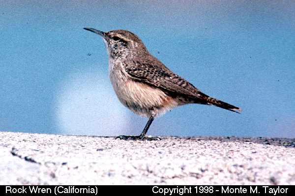 Rock Wren  (California)
