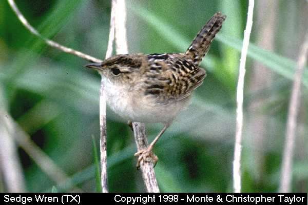 Sedge Wren  (Texas)