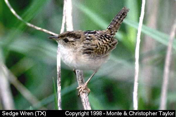 Sedge Wren (Texas)